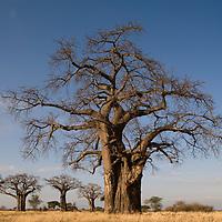 Africa, Tanzania, Tarangire National Park, Baobab Trees (Adansonia digitata) at sunrise
