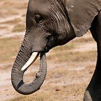 Africa, Kenya, Amboseli. Elephant of Amboseli.