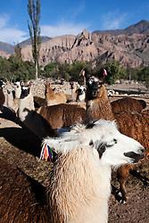 """Llama herd in Tilcara, from """"Caravana de Llamas"""", that organizes the Llama trekking.Tilcara, Jujy, Argentina."""