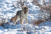 A coyote stalking voles in the snow.