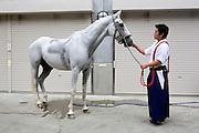 Kiyomoto Ogasawara taking care of a horse that is used in Yabusame.