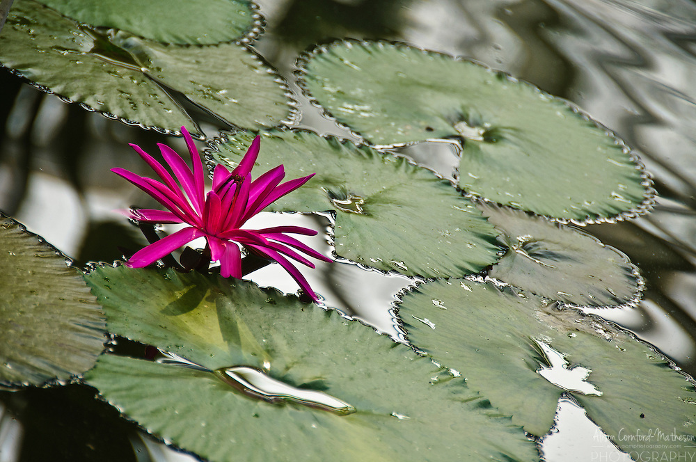 "Nymphaea ""Hofgartner Graebner"" Waterlily in bloom at the National Botanical Garden of Belgium, in Meise."