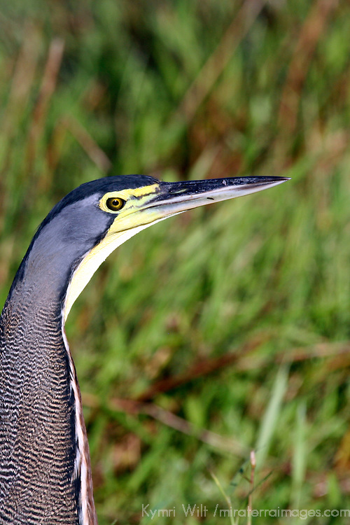 Central America, Costa Rica. Bare-Throated Tiger Heron.