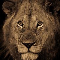 Portrait of a male lion in the Masai Mara of Kenya