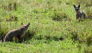 Bat-eared Fox - Mbweha
