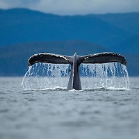 USA, Alaska, Tongass National Forest, Humpback Whale (Megaptera novaengliae) raises its tail while diving in Frederick Sound on summer morning
