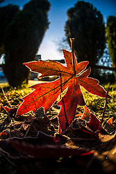 Winter sunlight through leaves in my garden this morning..©Michael Schofield.