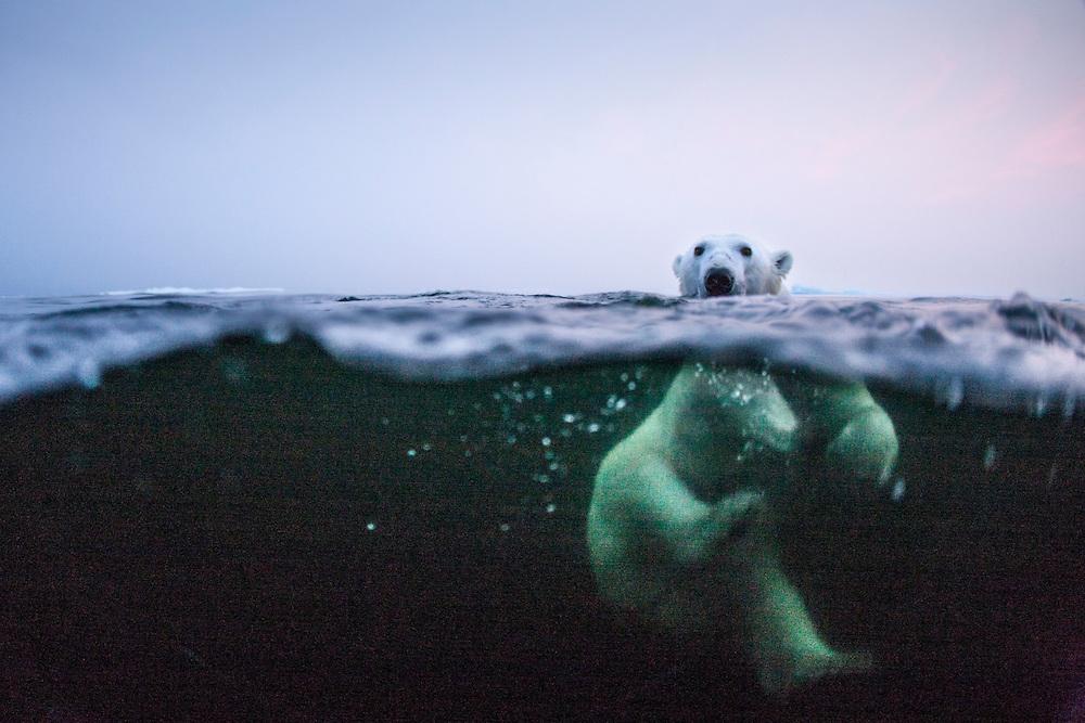 Canada, Manitoba, Churchill, Underwater view of Polar Bear (Ursus maritimus) swimming in Hudson Bay on summer evening