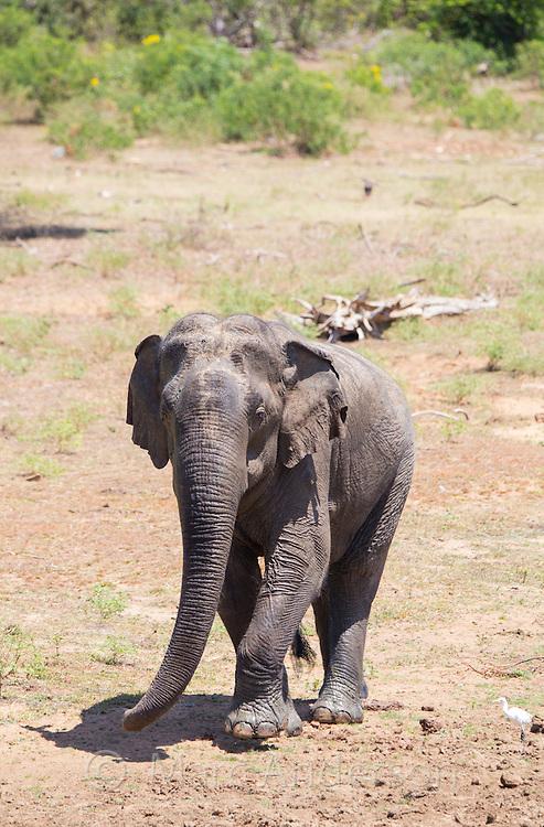 Bull Sri Lankan elephant (Elephas maximus maximus) a subspecies of Asian Elephant, Yala National Park, Sri Lanka