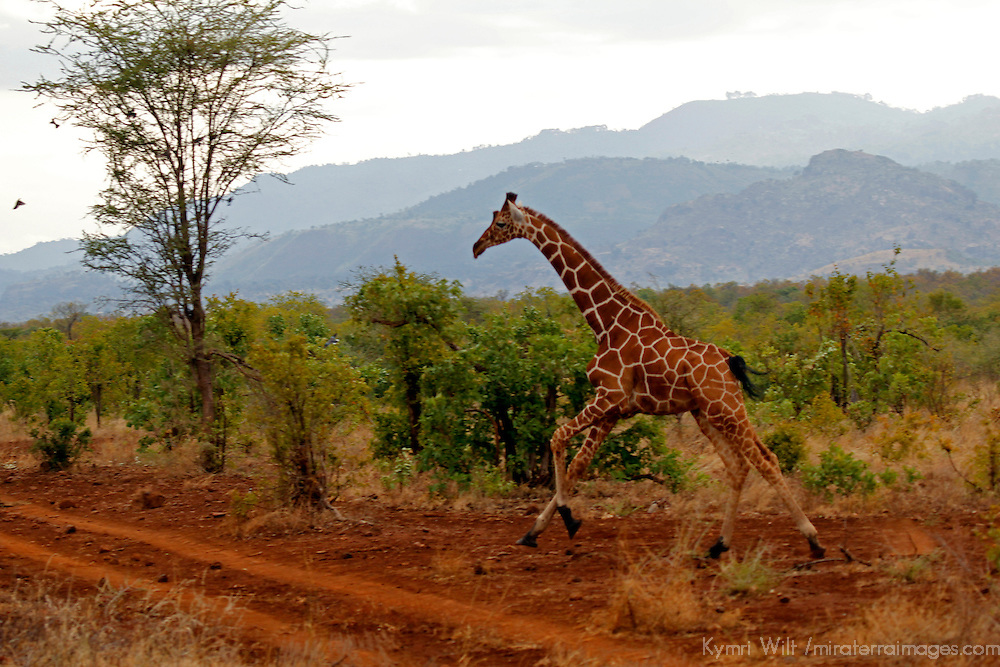 Africa, Kenya, Meru. Reticulated Giraffe running Meru National Park.