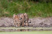 Bobcat in Texas drinking