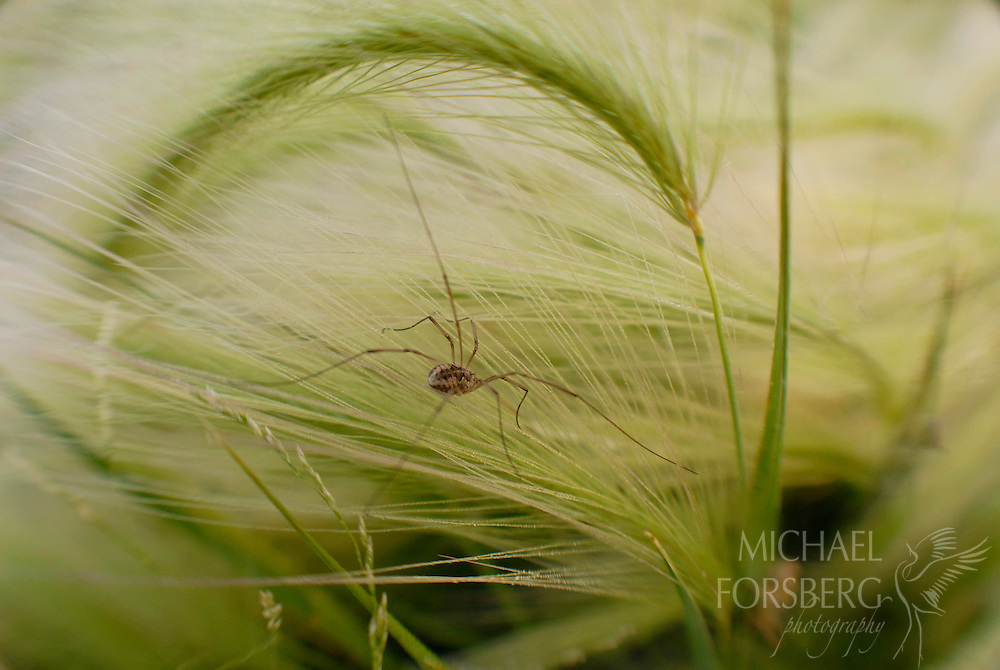 A daddy long leg spider moves along the fronds of foxtail grass along the edge of a prairie wetland.  Stutsman County, North Dakota.