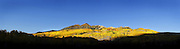 SHOT 9/28/12 6:23:41 PM - A panoramic image of aspen trees changing colors along Kebler Pass with the Anthracite mountain range as a backdrop just outside of Crested Butte, Co. Populus tremuloides, the Quaking Aspen or Trembling Aspen, is a deciduous tree native to cooler areas of North America and is generally found at 5,000-12,000 feet. The name references the quaking or trembling of the leaves that occurs in even a slight breeze due to the flattened petioles. It propagates itself by both seed and root sprouts, and extensive clonal colonies are common. Each colony is its own clone, and all trees in the clone have identical characteristics and share a root structure. (Photo by Marc Piscotty / © 2012)