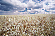 Washington. Pomeroy, Wheatfield with clouds