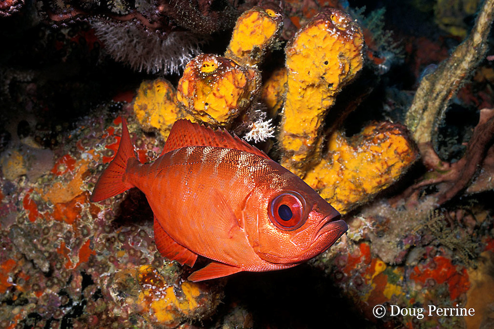 bigeye or glasseye snapper, Heteropriacanthus cruentatus, New Guinea Reef, St. Vincent, West Indies ( Caribbean Sea )