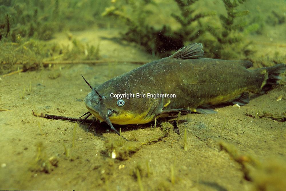 Black Bullhead : Bullheads Collection , Catfishes Collection , Black Bullhead ...