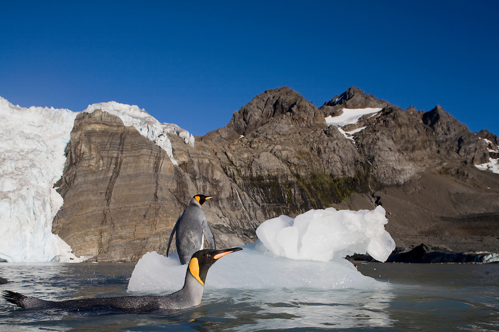 Antarctica, South Georgia Island (UK), King Penguins (Aptenodytes patagonicus)  by iceberg calved from glacier in mountains around Gold Harbour
