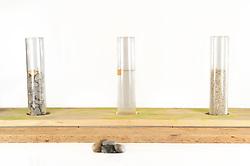 [captive] In this experiment, the Kea (Nestor notabilis) is presented three tubes filled with water, large or small stones. The Kea learns to drop stones into the tube filled with water until the water level has risen high enough for the Kea to pick up a nut. The picture was taken in cooperation with the University of Vienna (UniVie) and University of Veterinary Medicine Vienna (VetMed). Sequence 1/16. | In diesem Experiment werden dem Kea (Nestor notabilis) drei Röhrchen präsentiert, die entweder mit Wasser, kleinen oder großen Steinchen gefüllt sind. Der Kea wirft gezielt Steine in die Säule mit Wasser, bis die darin befindliche Nuss hoch genug schwimmt, um vom Kea erreicht zu werden. Das Bild wurde in Zusammenarbeit mit der Veterinärmedizinischen Universität Wien und der Universität Wien erstellt. Sequenz 1/16.