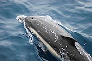short-beaked common dolphins, Delphinus delphis, Azores Islands, Portugal, North Atlantic Ocean&amp;#xA;&copy; KIKE CALVO<br />