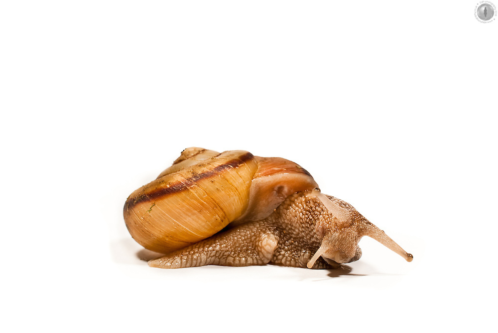 Land snail against a white background with a shadow.