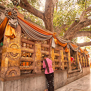 A Buddhist pilgrim prays at the Bodhi Tree at Bodhgaya, a descendent of the tree under which the Buddha attained enlightenment