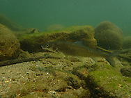 Mountain Whitefish <br /> <br /> Todd Pearsons/Engbretson Underwater Photography