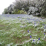 Along a Texas Highway, Bluebonnets in the snow, April, 2007