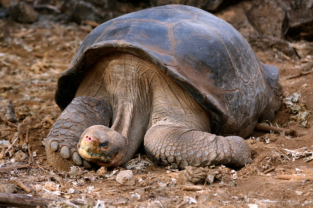"South America, Ecuador, Galapagos Islands. ""Lonesome George"", the last living purebred Abingdon Island Tortoise."