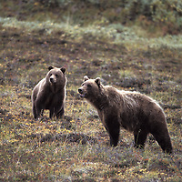 Grizzly Bears, Ursus arctos, mother and cub on hillside in Alaska wilderness
