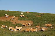 16/06/14 - CEZALIER - PUY DE DOME - FRANCE - Engraissement de broutard de race Aubrac sur les estives du Cezalier - Photo Jerome CHABANNE