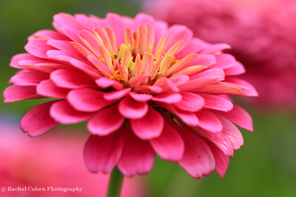 &quot;Zinnia's In Pink&quot;<br /> <br /> Gorgeous pink Zinnia from the Matthaei Botanical Garden in Ann Arbor Michigan!!<br /> <br /> Flowers and Wildflowers by Rachel Cohen