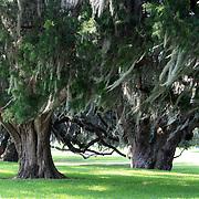Ancient oaks with Spanish Moss, Jekyll Island, Georgia.
