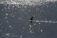Black guillemot (Cepphus grylle) runs across glittering waters gathering enough speed to take flight; Kongsfjorden, Svalbard.