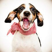 Bert the Beagle. ©Anne Chadwick Williams