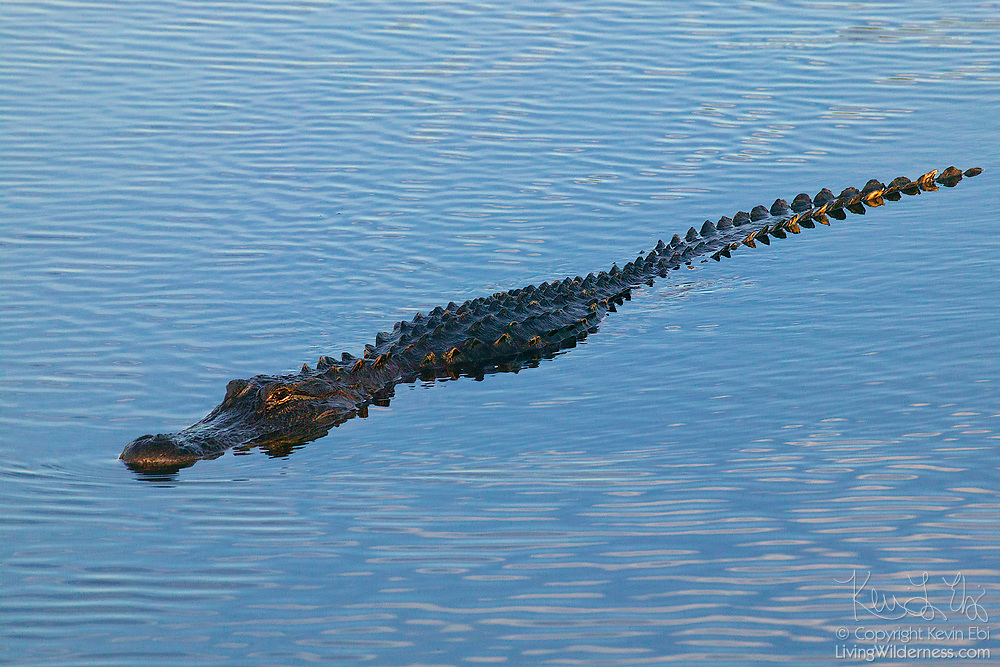 An American alligator (Alligator mississippiensis) swims along the surface of the water in the Florida Everglades. American alligators are found in the southeast United States. Florida and Louisiana each have alligator populations of greater than one million.
