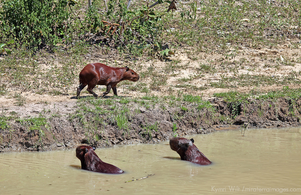 South America, Brazil, Pantanal. Capybaras in and out of the water in the Pantanal.