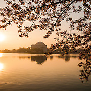 Just after sunrise on the Tidal Basin, with the Jefferson Memorial in center of frame and the cherry blossom flowers at right. The Yoshino Cherry Blossom trees lining the Tidal Basin in Washington DC bloom each early spring. Some of the original trees from the original planting 100 years ago (in 2012) are still alive and flowering. Because of heatwave conditions extending across much of the North American continent and an unusually warm winter in the Washington DC region, the 2012 peak bloom came earlier than usual.