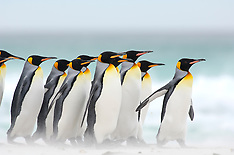 King penguins | Königspinguine