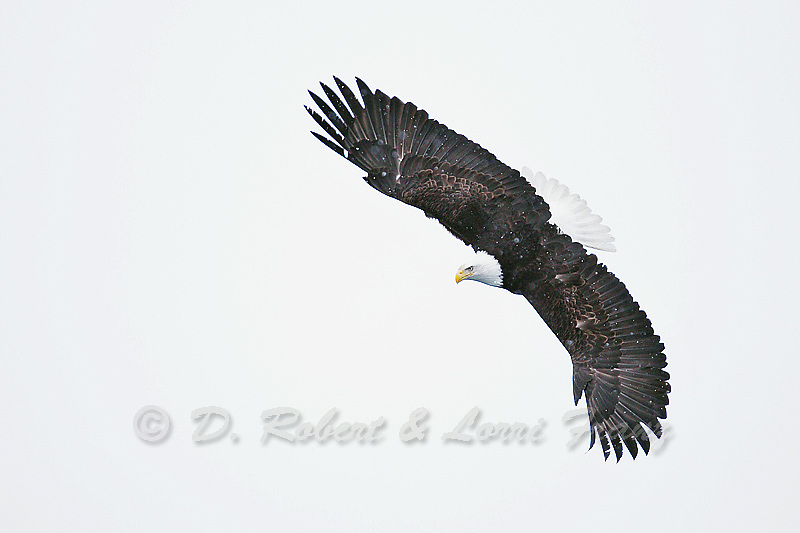 "Images from the 2011 ""Bald Eagles of Alaska"" photo tour"