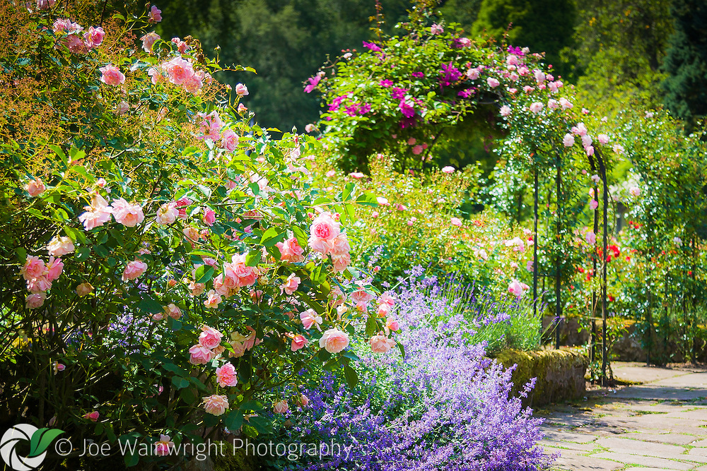 The pretty Rose Garden at Cholmondeley Castle, Cheshire.  The roses are complemented by nepeta and clematis.