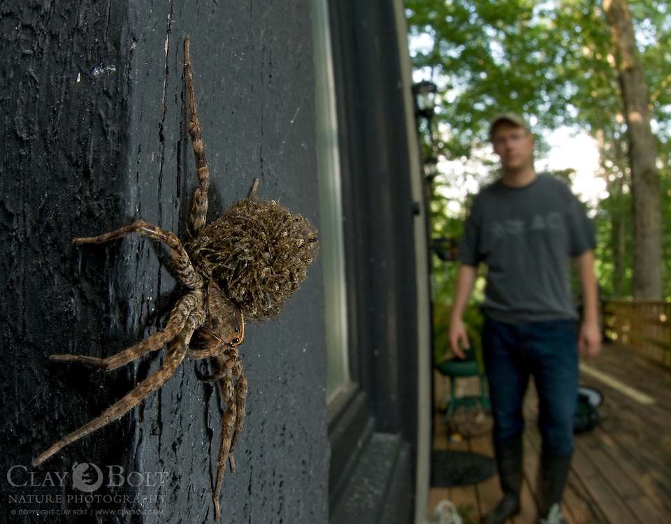 The Carolina Wolf Spider (Hogna carolinensis) is the official state spider of South Carolina and one of the largest wolf spiders found in North America.