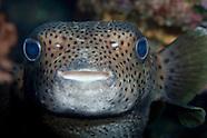 Diodon hystrix (Spot-fin porcupine fish ).