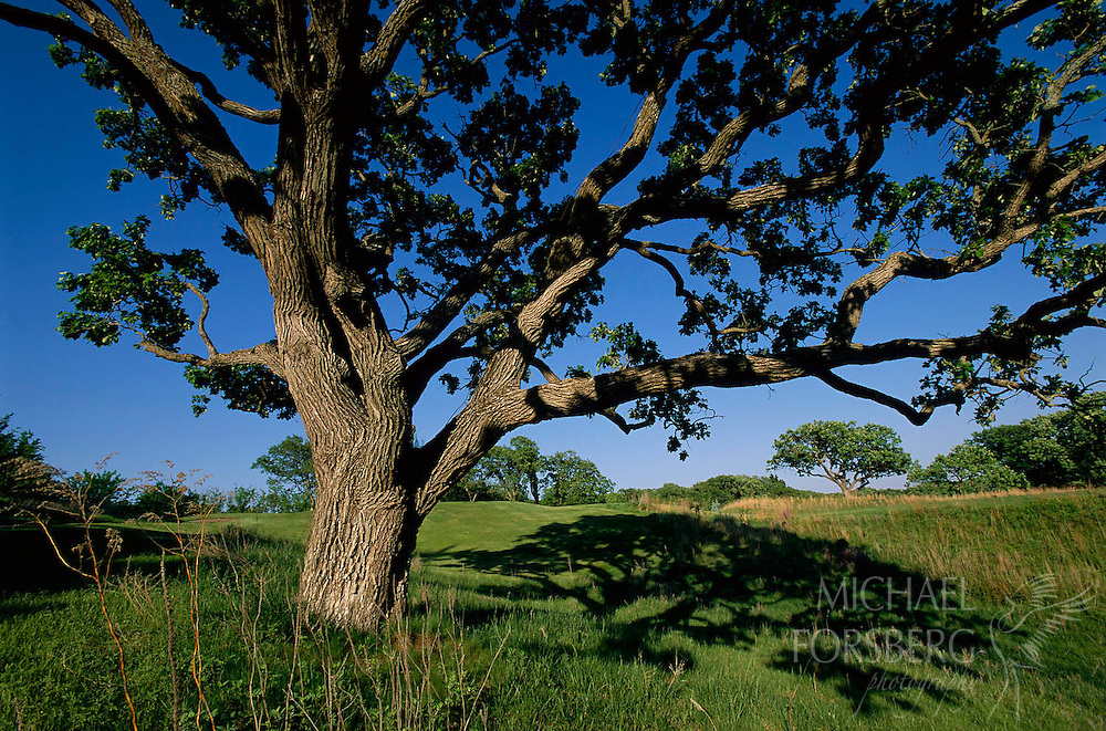 Sarpy County, Nebraska.  Burr oak tree.