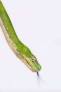 Green tree python, Morelia viridis, Australian Reptile Park, Somersby, New South Wales, Australia