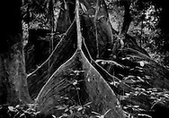 Buttress roots reach out wide into the Borneo rainforest floor to support an ancient tree, Sarawak, Malaysia.