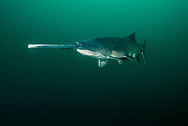 Paddlefish<br />