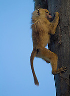 Baby Olive Baboon (Papio anubis)climbing a tree