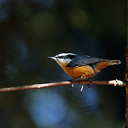 Red-breased nuthatch. Yaak Valley in the Purcell Mountains, northwest Montana