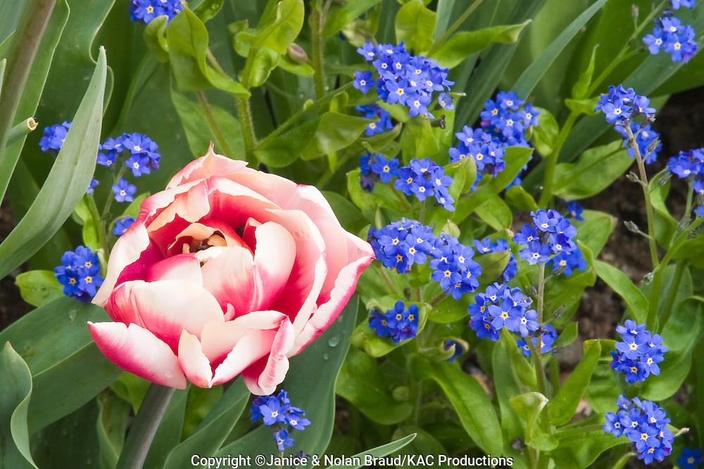 Tulip and Verbena (Verbena venosa) at Butchart Gardens in Victoria, British Columbia, in Western Canada.