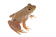 Bronze Frog (Rana [Lithobates] clamitans), Jean Lafitte National Park, Louisiana.